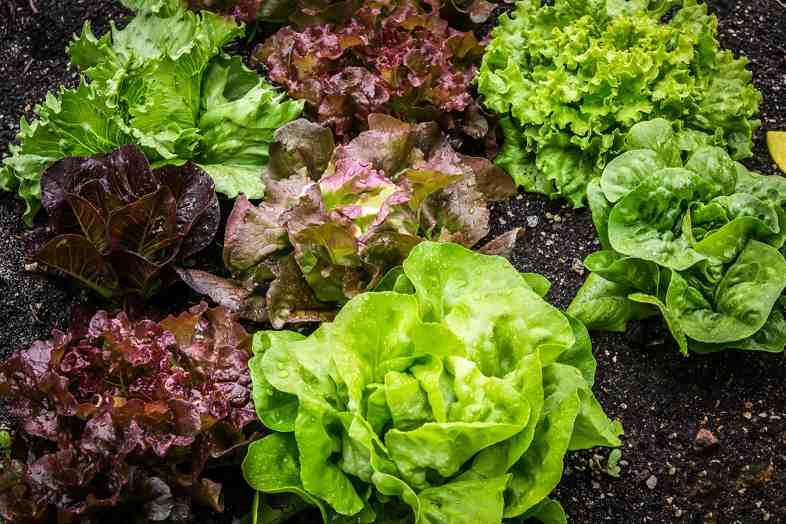 L'anidride carbonica prolunga la durata della lattuga